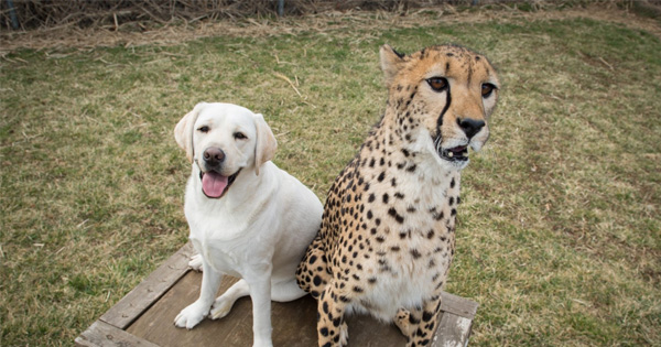Man Shares Photos Of A Cheetah And A Dog For A Heartwarming Reason Many People Never Knew About
